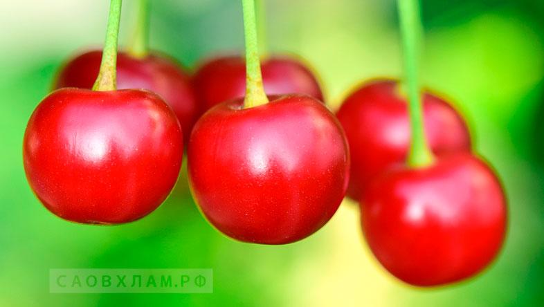 ягоды вишни для вина