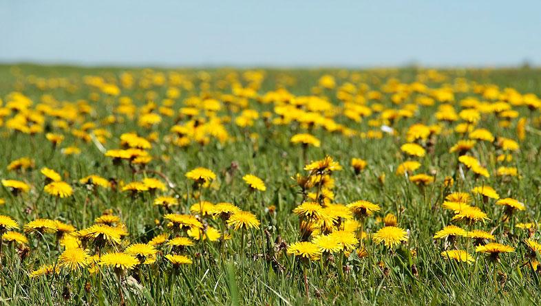 поле с одуванчиками